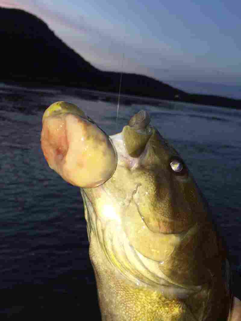 A smallmouth bass with confirmed malignant tumor was caught by an angler in the Susquehanna River near Duncannon, Pa., on Nov. 3, 2014.