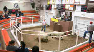 Sheep are sold in small lots like this one at the Centennial Livestock Auction in Fort Collins, Colo.