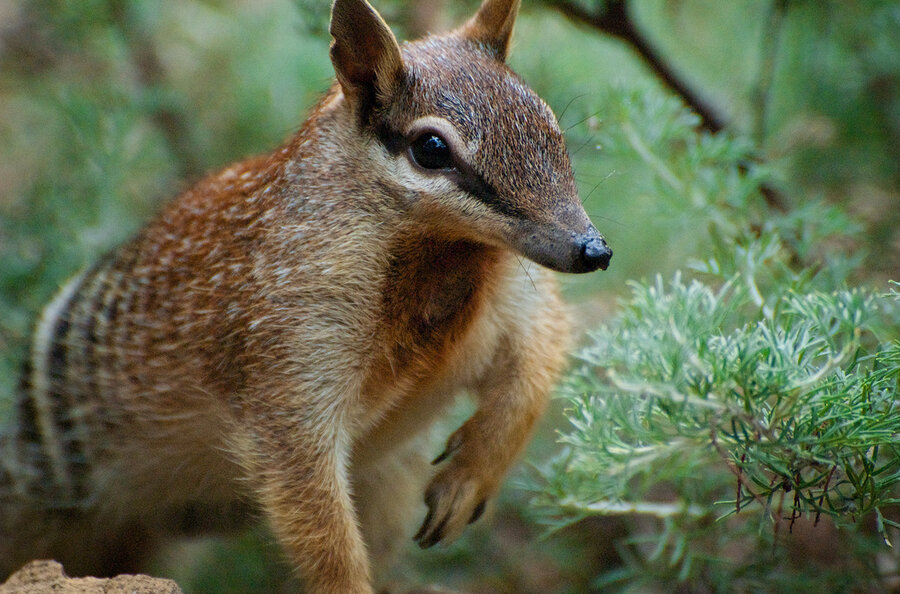 How To Feed A Numbat Zoo Cookery Aids Endangered Species The