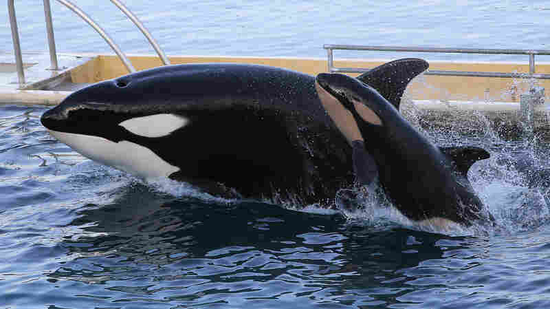 An orca swims with its baby at the Marineland animal exhibition park in Antibes, France, in 2013.