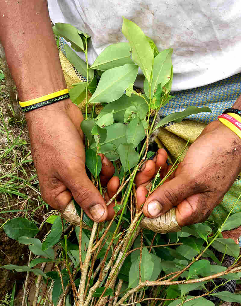 Franklin Canacuan strips the leaves from his coca bushes in southern Colombia. He says his daughter became ill after she was doused with weed killer while playing outside.