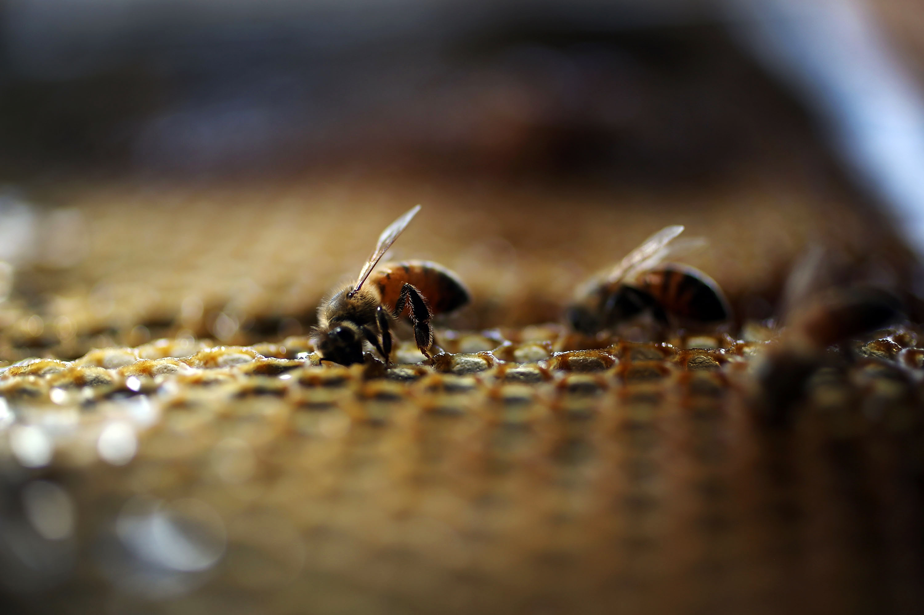 Pollinator Politics: Environmentalists Criticize Obama Plan To Save Bees