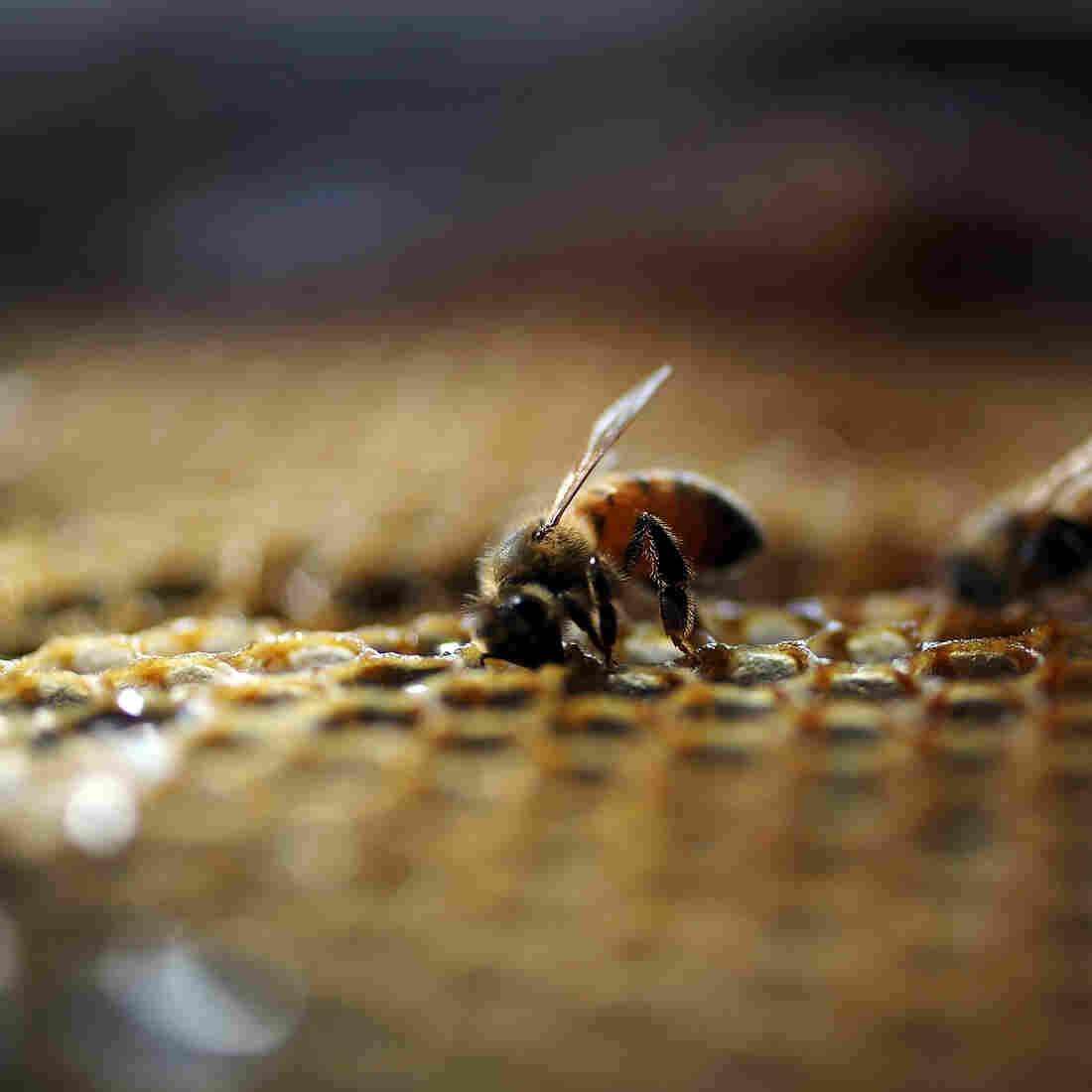 Pollinator Politics: Environmentalists Criticize Obama Plan To Save Bees