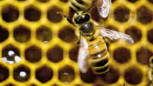 The federal government hopes to reverse America's declining honeybee and monarch butterfly populations.