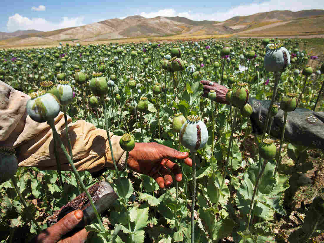 Families harvest poppy bulbs in the Badakhshan province of Afghanistan. To collect the opium, they score the bulbs and let the milky substance ooze out. The dried residue contains about 10 percent morphine.