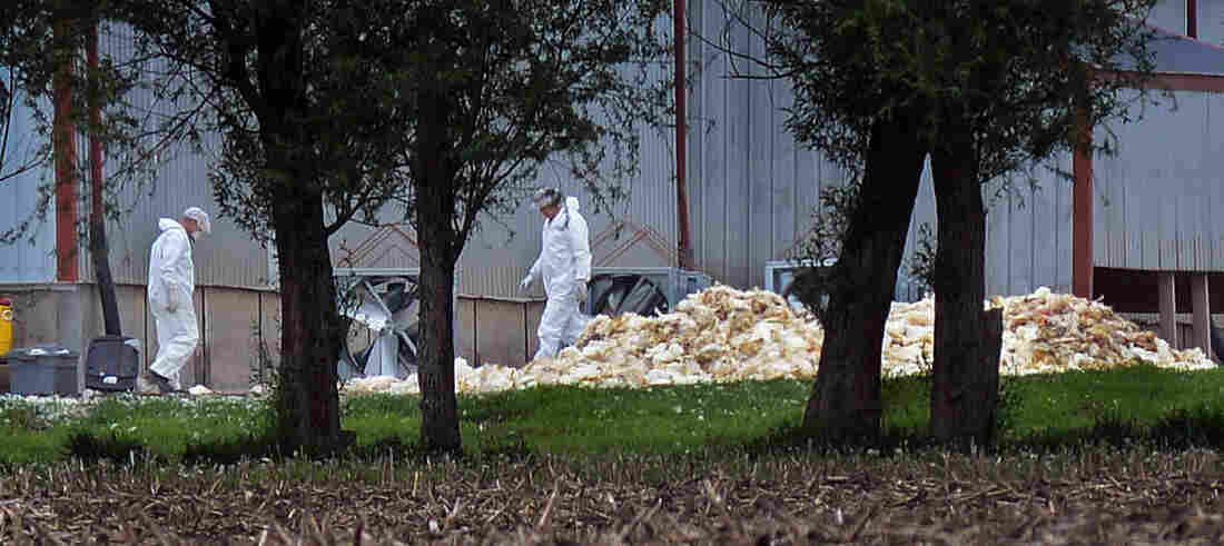 Men in hazardous materials suits load dead poultry to be buried at Rose Acre Farms Inc., just west of Winterset, Iowa, on May 11.