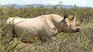 Rare Black Rhino Killed By U.S. Hunter Who Won Controversial Auction
