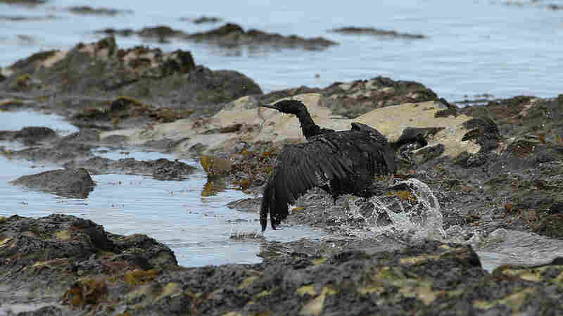 A bird covered in oil flaps its wings at Refugio State Beach, north of Goleta, Calif., on Thursday. More than 9,000 gallons of oil has been raked, skimmed and vacuumed from a spill that stretched across 9 miles of California coast, just a fraction of the sticky, stinking goo that escaped from a broken pipeline, officials said.