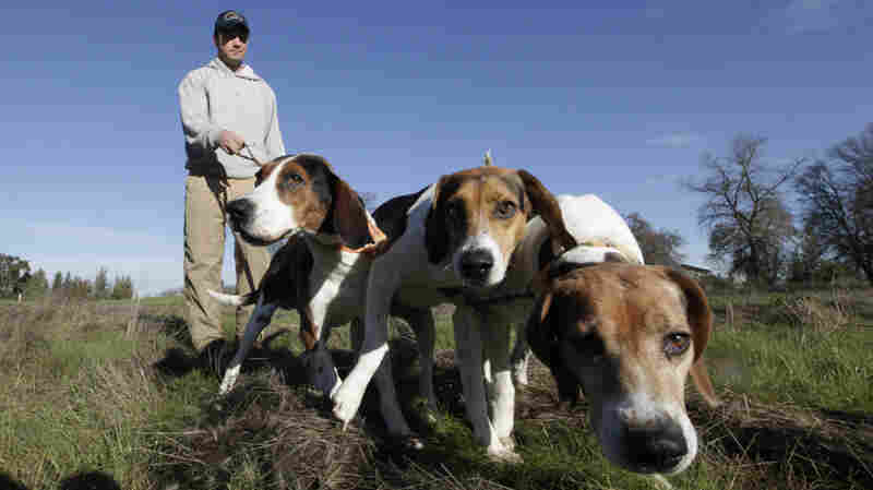 Josh Brones, president of the California Houndsmen for Conservation, walks his hunting dogs, Dollar, left, Sequoia, center and Tanner right, near his home in Wilton, Calif., in 2012.