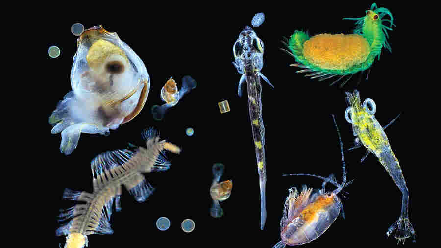 Plankton collected in the Pacific Ocean. Seen here is a mix of multicellular organisms — small zooplanktonic animals, larvae and single protists — the nearly invisible universe at the bottom of the marine food chain.
