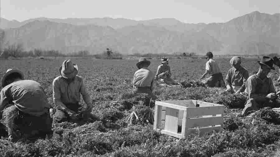 """Carrot pullers from Texas, Oklahoma, Missouri, Arkansas and Mexico. """"We come from all states and we can't make a dollar in this field noways. [sic] Working from seven in the morning until twelve noon, we earn an average of thirty-five cents."""" California, February 1937"""