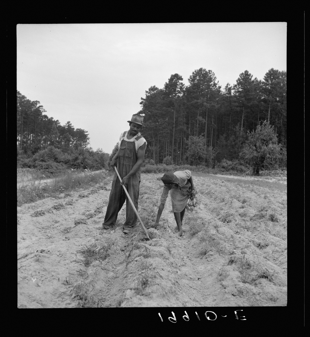 A sharecropper plants sweet potatoes with his 13-year-old daughter near Olive Hill, N.C., July 1939.
