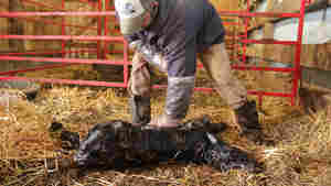 Dan Byers, an elite-cattle breeder, checks the heartbeat on a newborn calf, born from an embryo implanted in a surrogate heifer. Because the calf was delivered via C-section, he sprinkles sweet molasses powder on her to prompt the surrogate mother cow to lick her clean.