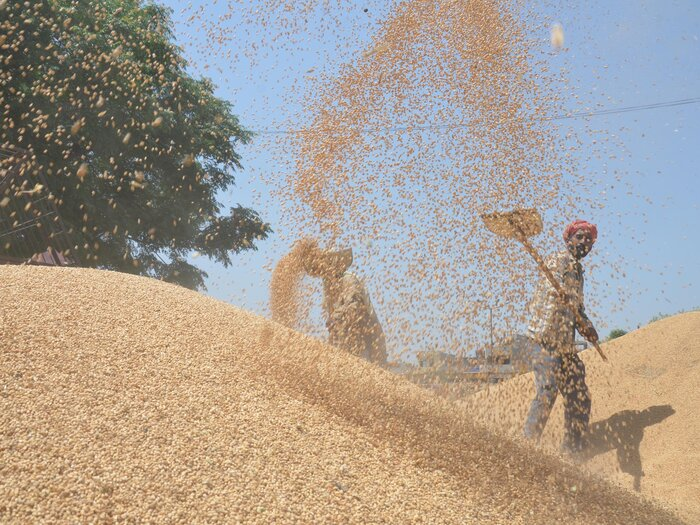 A farm laborer uses a sieve to separate grains of wheat from the husk in Amritsar, India.