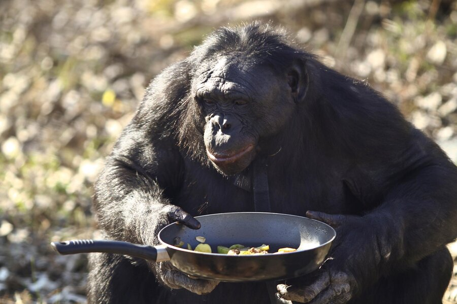 Bonobo chimpanzee porn — photo 6