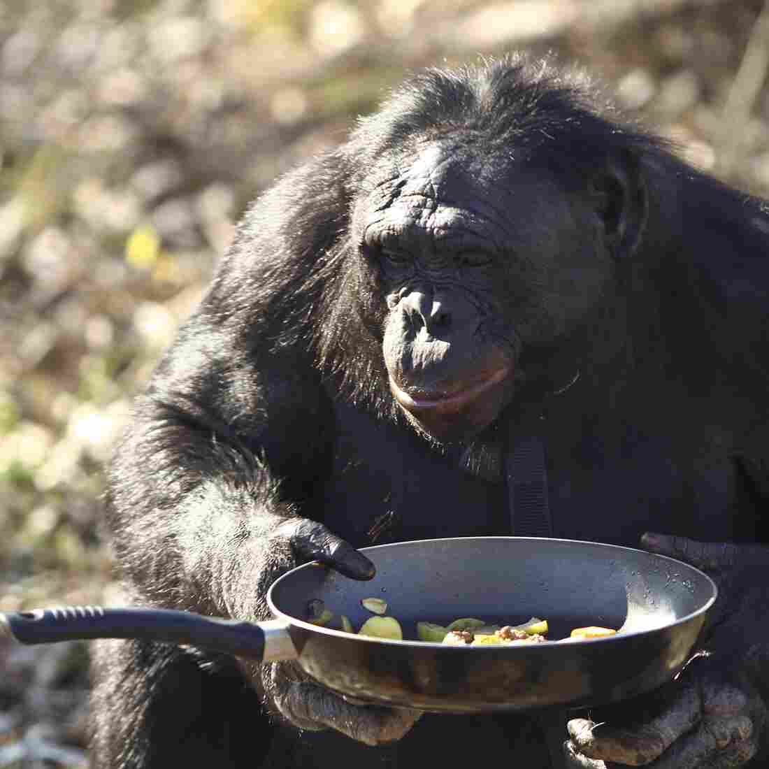 Kanzi the bonobo (a species closely related to chimps) holds a pan of vegetables he cooked at the Great Ape Trust in Des Moines, Iowa, November 2011. Kanzi was taught to cook. However, a new study is the first to show that animals can acquire a cooking-like skill on their own.
