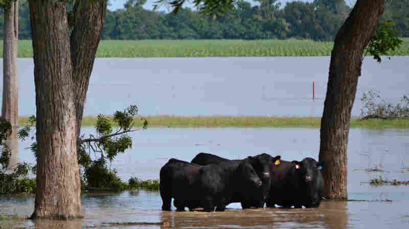 Cattle stand in floodwaters at 44 Farms in Cameron, Texas. The water demolished fences and ruined crops planted as feed.