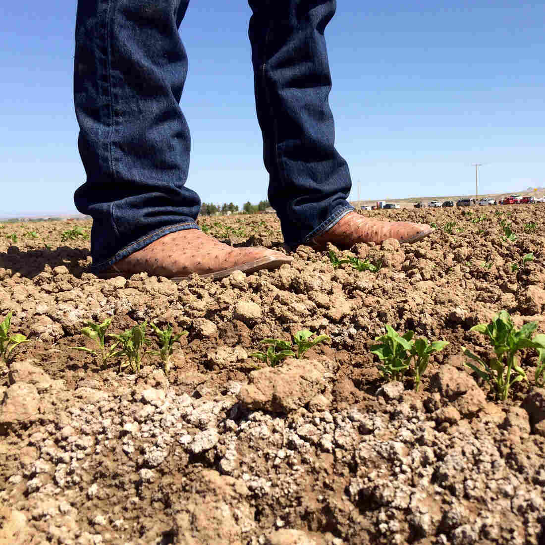 For New Mexico's Chiles, The Enemy Isn't Just Drought But Salt, Too