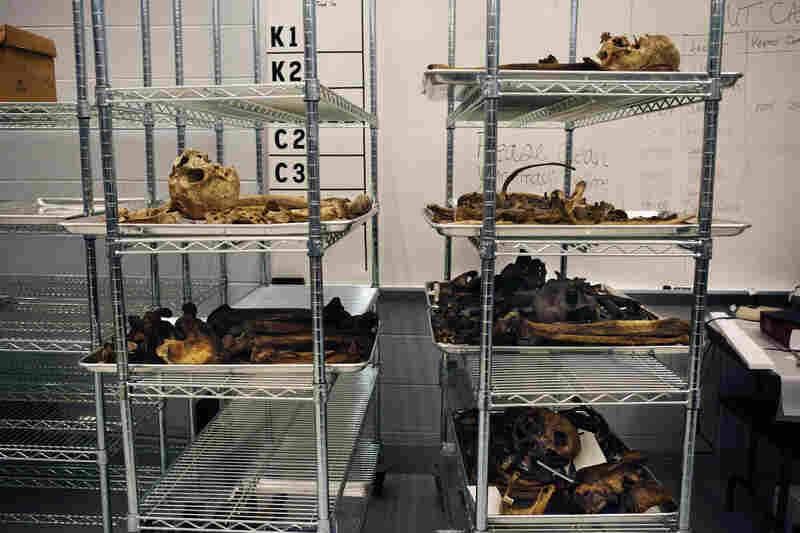 Skeletal remains wait to be processed in a lab at UT's Forensic Anthropology Center in Knoxville, Tenn.