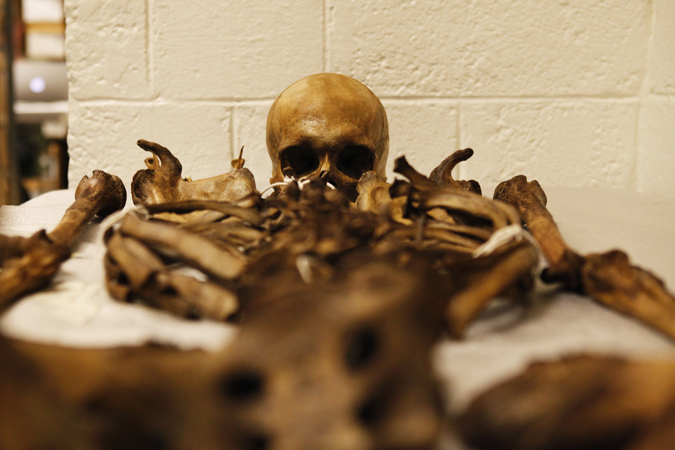 A human skeleton, part of the WM Bass Donated Skeletal Collection.
