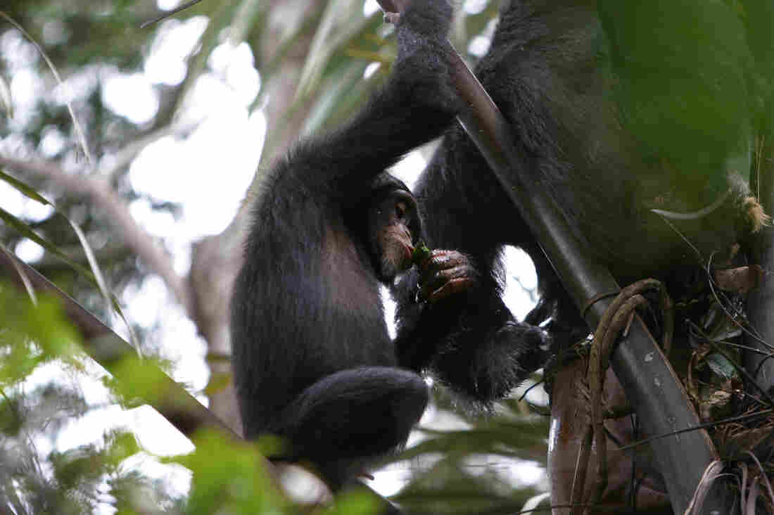 A juvenile chimpanzee uses a leaf sponge to drink palm wine in Bossou, Guinea.