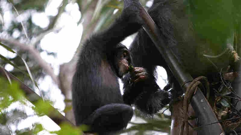 A juvenile chimpanzee uses a leaf sponge to drink palm wine in Bossou, Guinea.