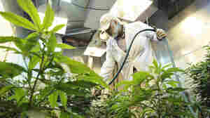 Concern Grows Over Unregulated Pesticide Use Among Marijuana Growers