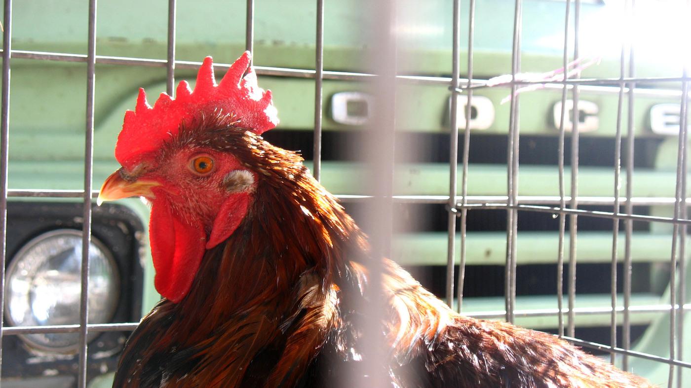 Episode 632: The Chicken Tax : Planet Money : NPR