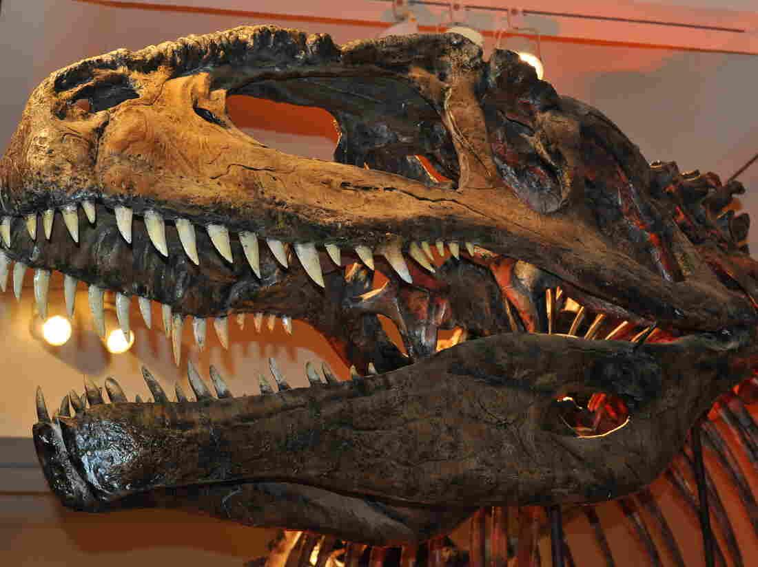 The skull of a Giganotosaurus.