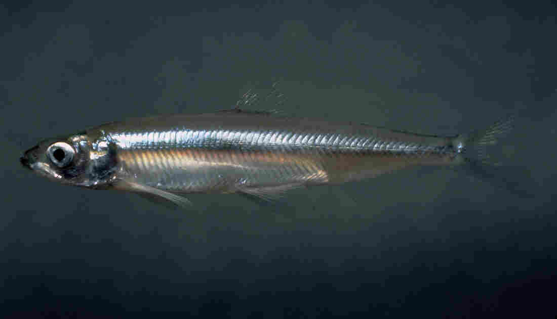Delta smelt, fish native to the Sacramento-San Joaquin River Delta, are a government-protected species. The Chinook salmon rely on them.