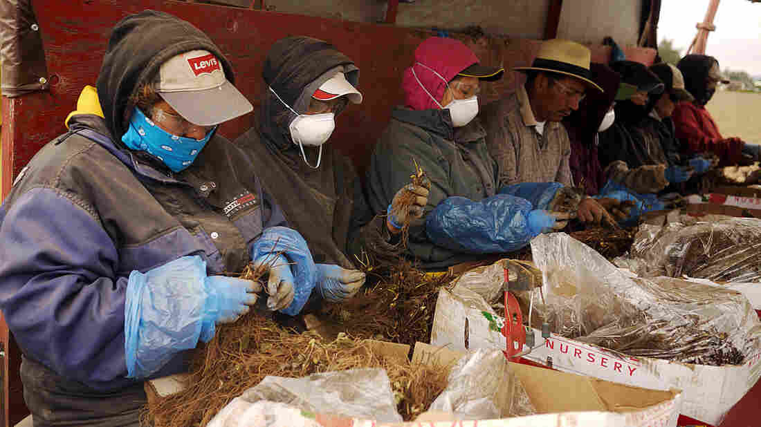 Workers sort through strawberry roots on a planter pulled behind a tractor at Sakuma Brothers Farm in Burlington, Wash.