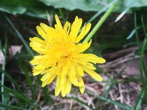 Dandelion (Taraxacum officinale) flower found on the sidewalk in Meridian Hill Park, Washington, D.C. It's edible, but isn't on