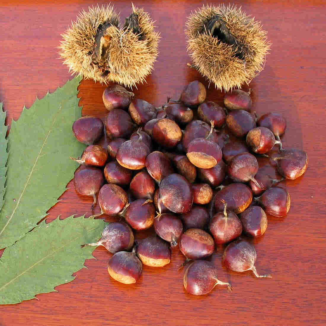 Once And Future Nut: How Genetic Engineering May Bring Back Chestnuts