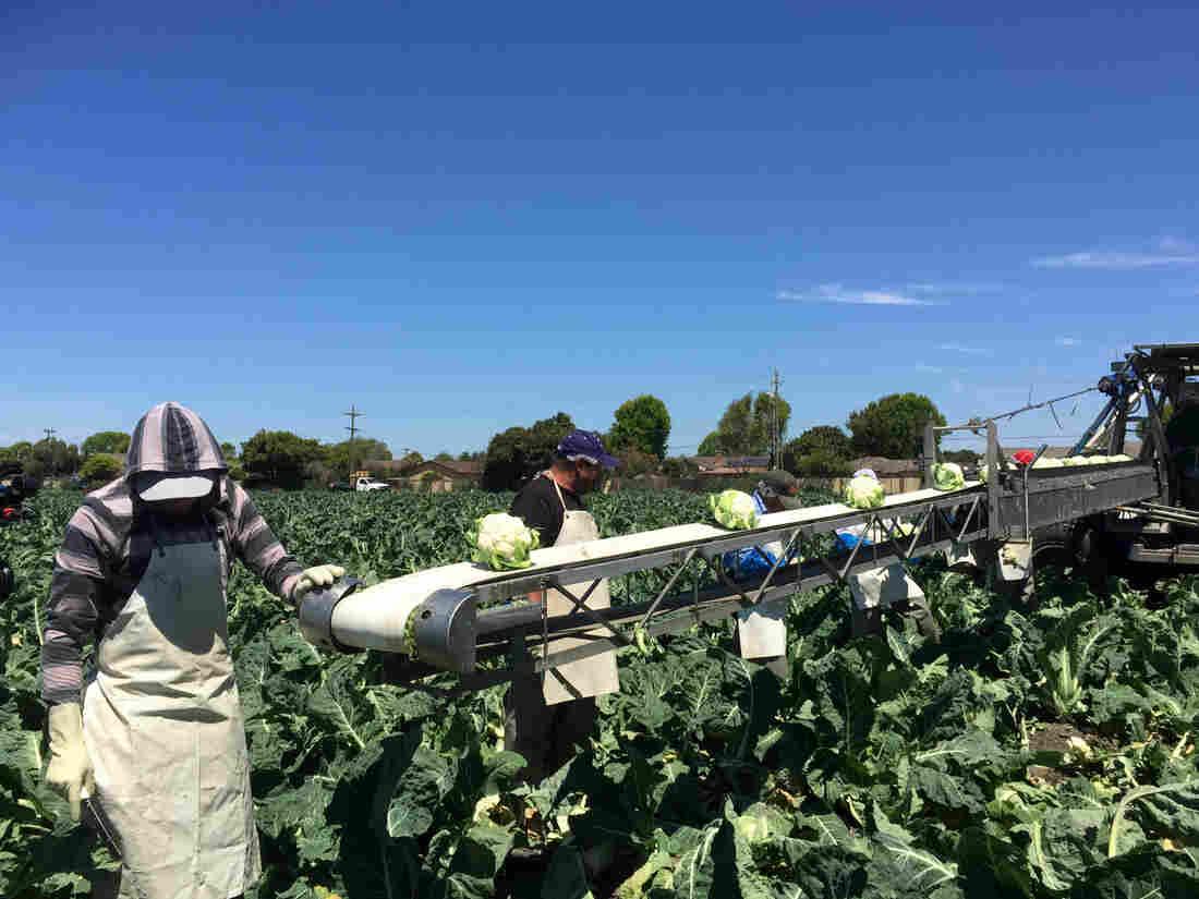 Cauliflower on the conveyor belt at Ocean Mist Farms in Salinas Valley, Calif.