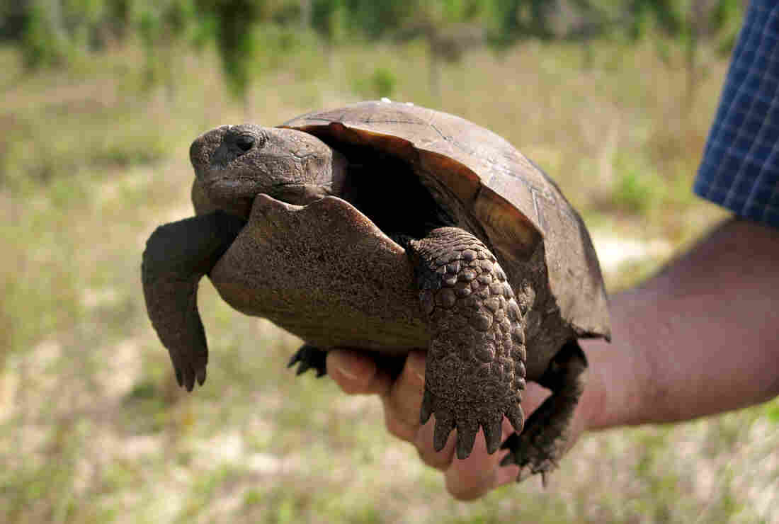 Aresco introduces a gopher tortoise rescued from a suburban construction site to its natural habitat at Nokuse. The gopher tortoise is a threatened species in Florida.