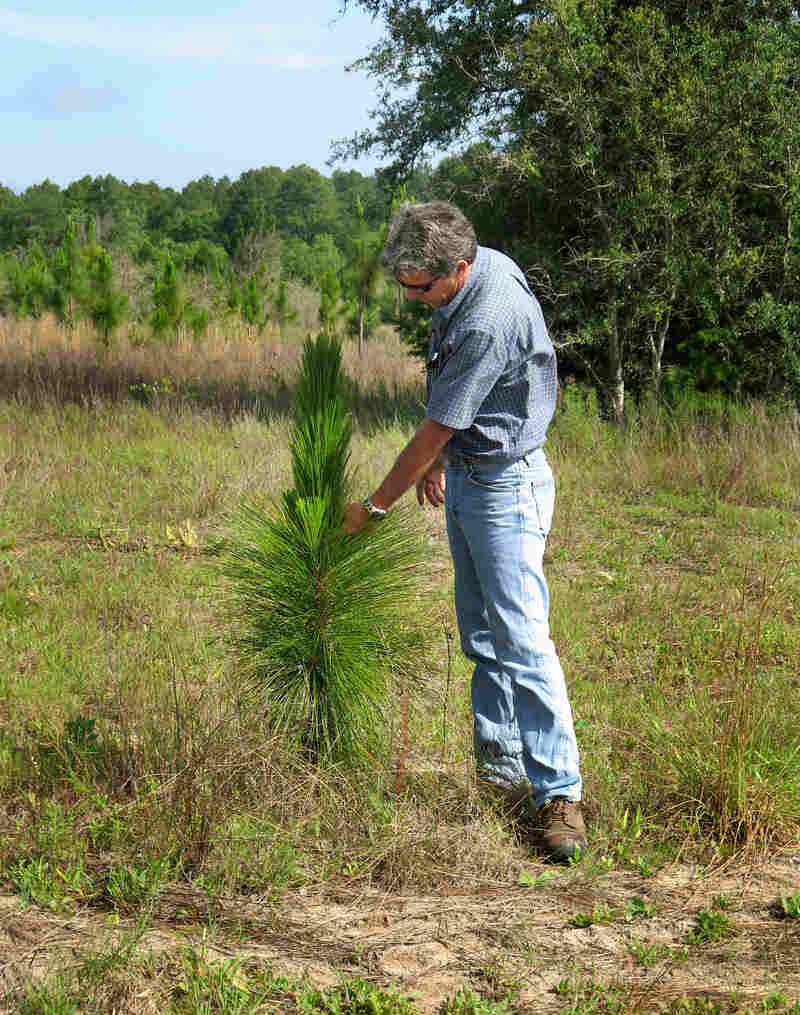 Matt Aresco, a biologist and director at Nokuse, points to one of the millions of longleaf pines crews have planted on the plantation. Longleaf pines once covered about 40 million acres across the South. By the 1930s, all of those original trees were cut down.