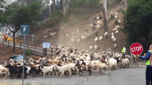 What We Can Learn From A Herd Of Hungry Goats