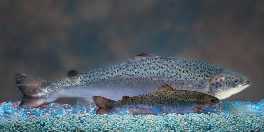 FDA наложило вето на импорт ГМ лосося