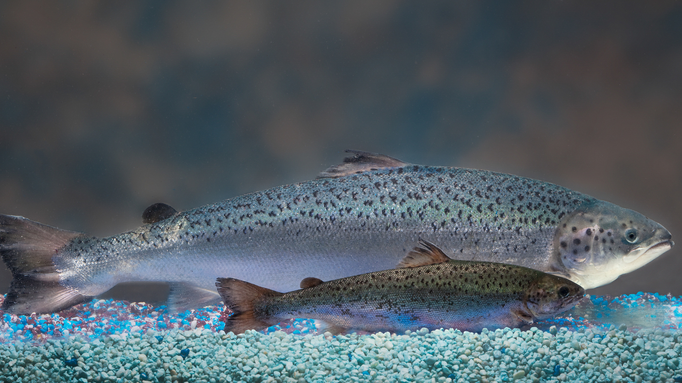 Genetically modified salmon coming to a river near you for Salmon fish pictures