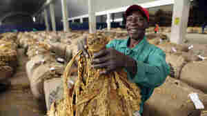 Tobacco Is Smokin' Again In Zimbabwe