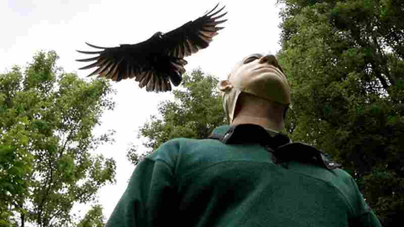 A crow dives on a researcher during a trial. Crows recognize people who have scared them or wronged them for years afterward.