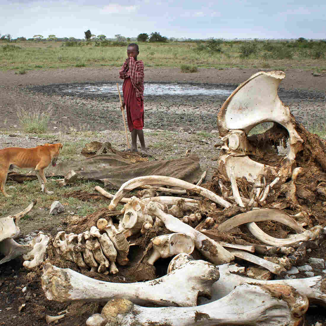 DNA Tracking Of Ivory Helps Biologists Find Poaching Hotspots