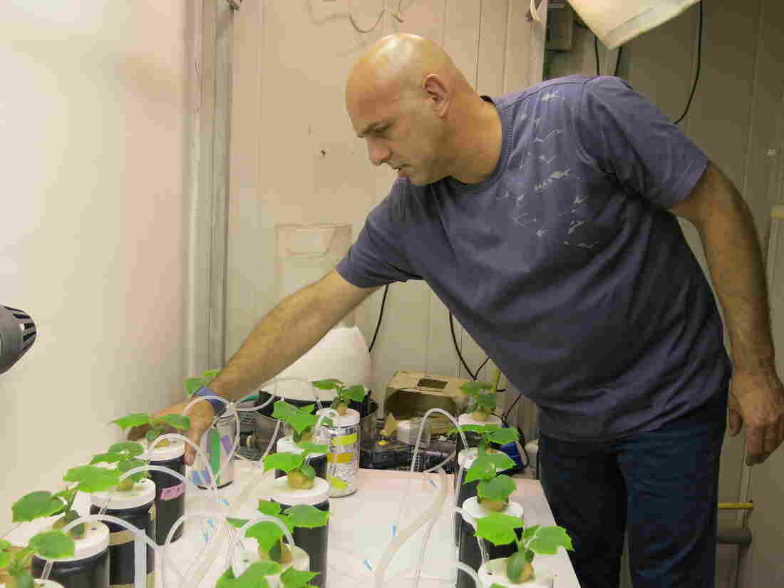 Benny Chefetz of Hebrew University is testing how crops — here, cucumbers — are affected by pharmaceutical residues that remain in sewage water even after thorough cleaning.