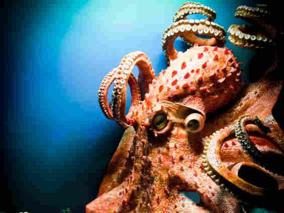 Giant octopus.
