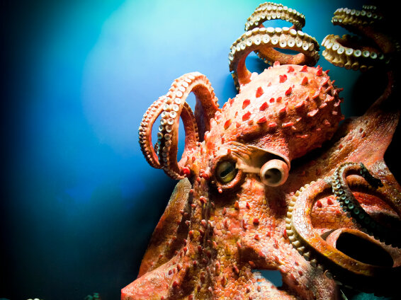in soul of an octopus an invertebrate steals our hearts 13 7