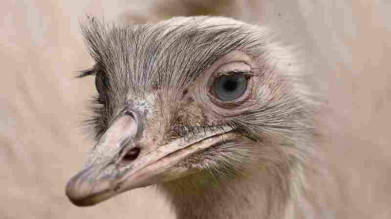 The female partner of the missing rhea bird that has been on the loose from a private collection in Carlton-in-Lindrick near Worksop, Nottinghamshire, U.K.