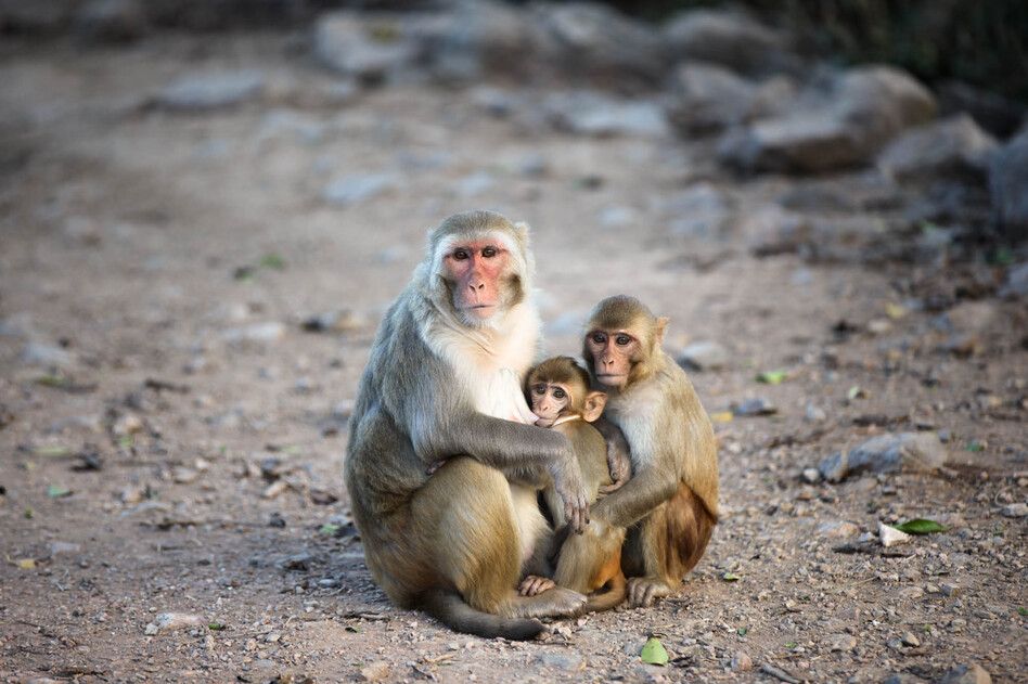 Family means a lot on Cayo Santiago, an island and monkey research colony off the coast of Puerto Rico. The colony of rhesus macaques living on the island since the 1930s has allowed scientists to trace kinship ties and effects across an extended community. (Anders Kelto/NPR)