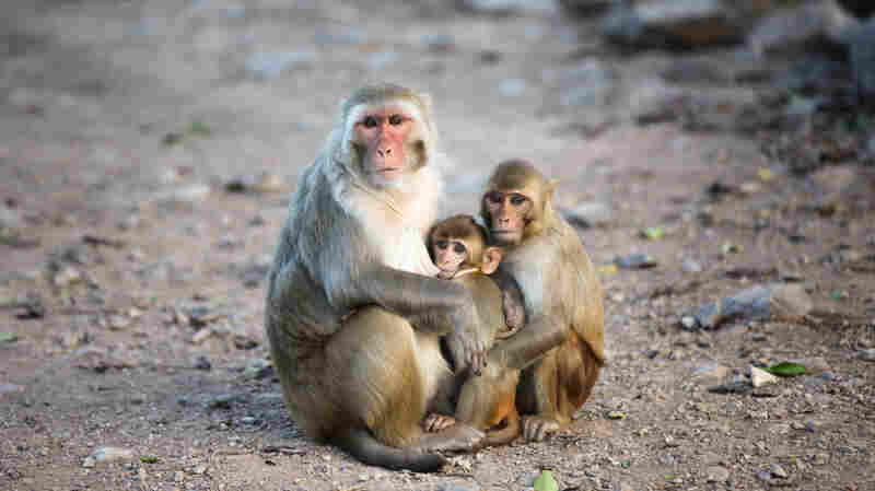 Family means a lot on Cayo Santiago, an island and monkey research colony off the coast of Puerto Rico. The colony of rhesus macaques living on the island since the 1930s has allowed scientists to trace kinship ties and effects across an extended community.