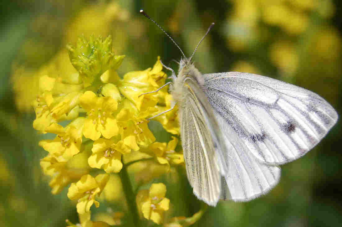 A small cabbage white butterfly (Pieris rapae) flutters by a hedge mustard plant (Sisybrium officinale).