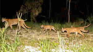 On The Rebound, Panthers Prowl Expanding Swath Of Land In Florida